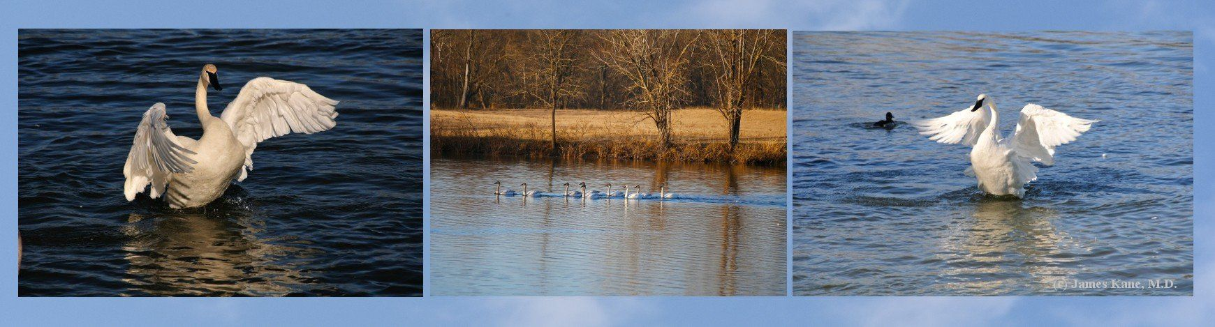Trumpeter Watch is The Trumpeter Swan Society's citizen science program to track swan migration and rest stops