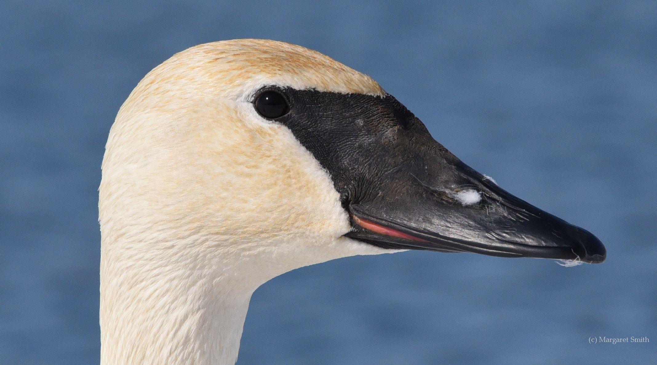 Trumpeter Swan head in profile