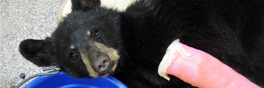 Black bear cub injured Southwest Wildlife