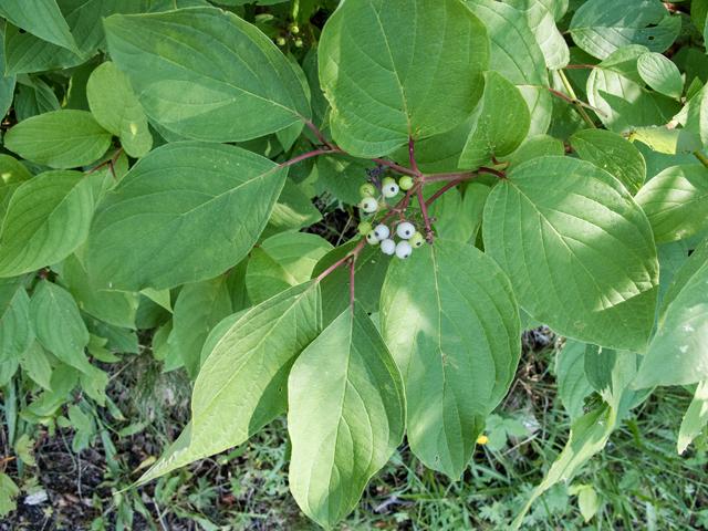 """Red Osier Dogwood Pack of 25 Seedlings (6""""-12"""")"""