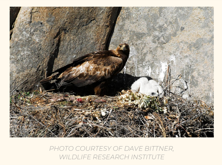 The Power of Birds: Audubon Advocates Speak up on Behalf of Golden Eagles