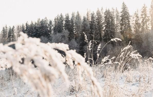 Snow Covered Grass and Evergreens