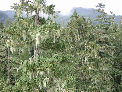 Developing old-growth forest canopy