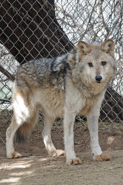F858 Magdalena Rim Pack alpha female Mexican Gray Wolf Southwest Wildlife Scottsdale Arizona