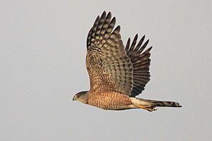Beak of the Week: Sharp-shinned Hawk