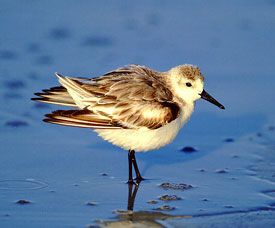 Beak of the Week: Sanderling