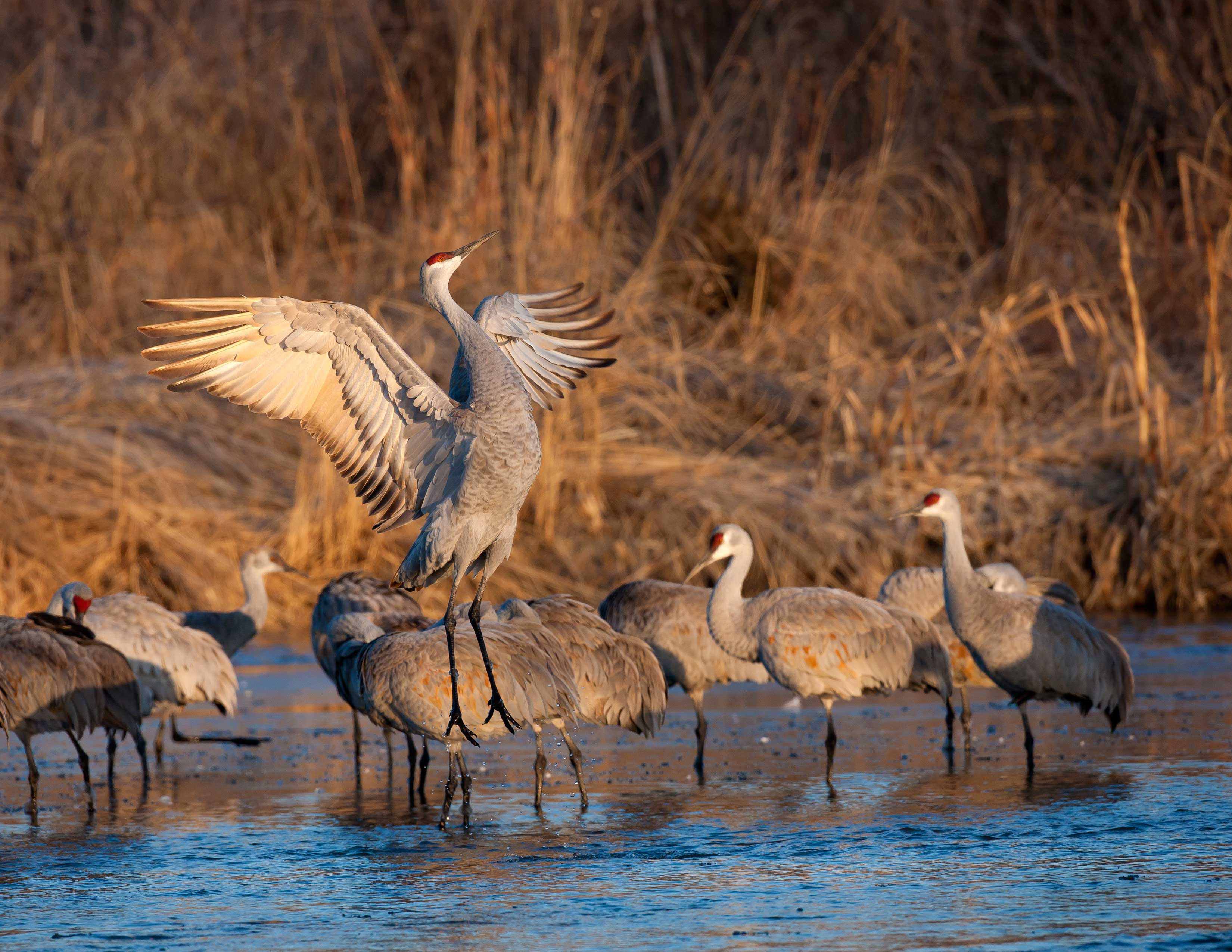 I've traveled far and wide, and coming to Nebraska, and seeing and hearing the cranes always restores my soul. – Jane Goodall