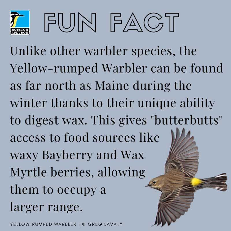 Yellow-rumped Warbler fun fact