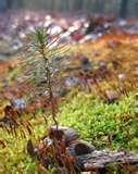 """White Pine - Pack of 100 Seedlings (6""""-9"""")"""