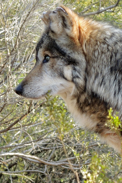 M889 Nico Mexican Gray Wolf Southwest Wildlife Scottsdale Arizona