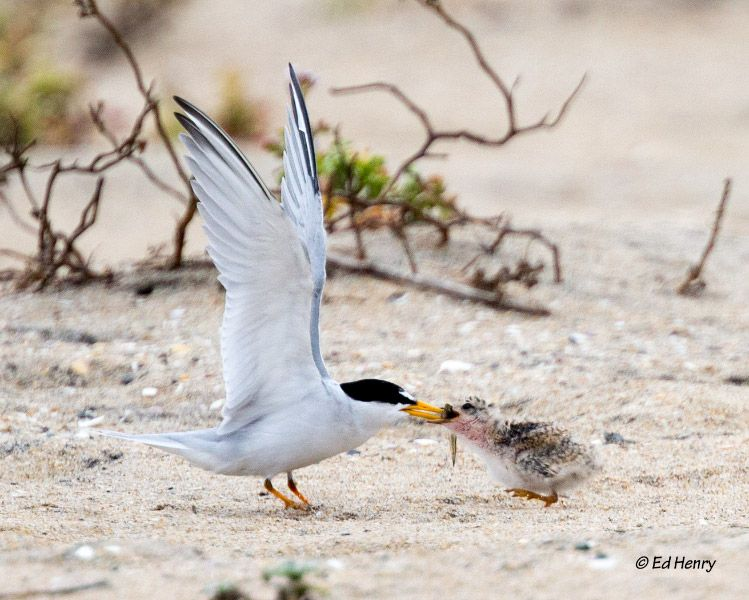 First Least Tern Restoration Event of the Season!
