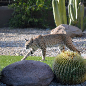 There is a bobcat in my backyard, what do I do?