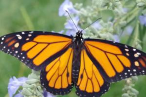 National Start Seeing Monarchs Day