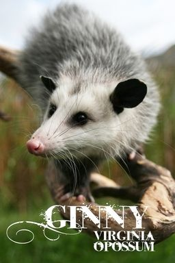 Virginia Opossum | GINNY