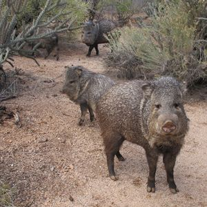 What is a Javelina?