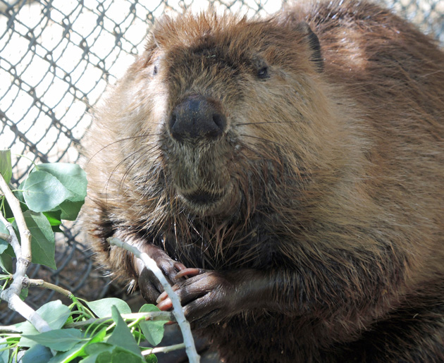 Beaver Rescued From Canal
