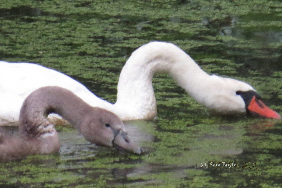 Mute swan cygnet with adult Mute swan