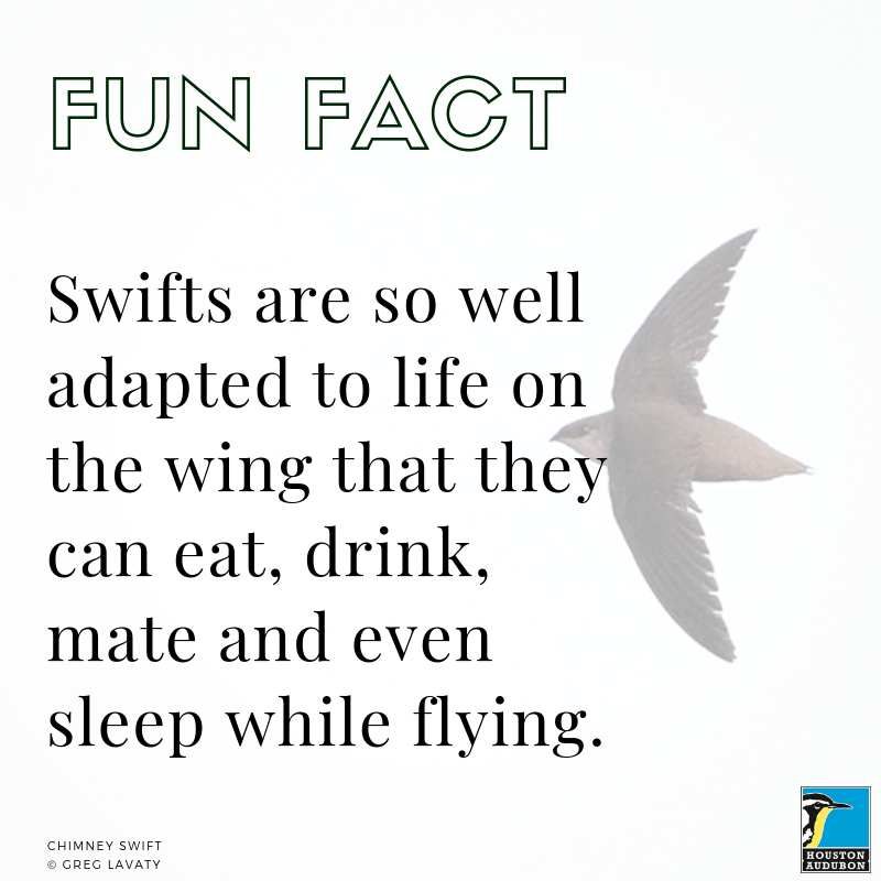 Chimney Swift fun fact