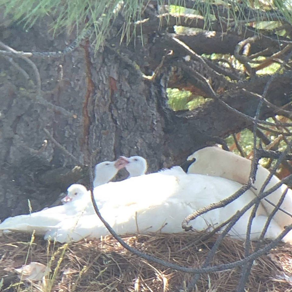 TTSS Oregon pair hatches cygnets of 4th of July