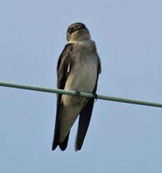 Beak of the Week: Northern Rough-winged Swallow