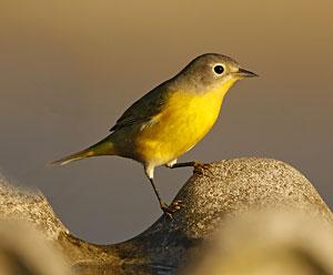 Nashville Warbler Bird Gallery Houston Audubon