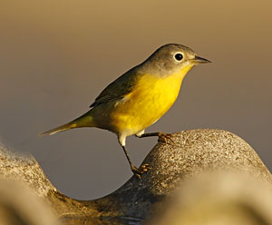 Nashville Warbler | Audubon Field Guide