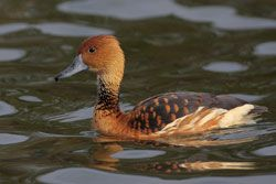 Beak of the Week: Fulvous Whistling-Duck