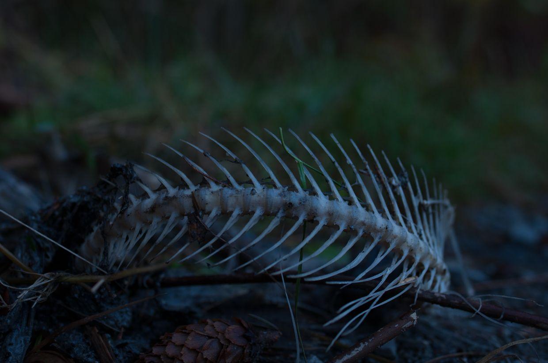 Ward Lake 5, Salmon Skeleton