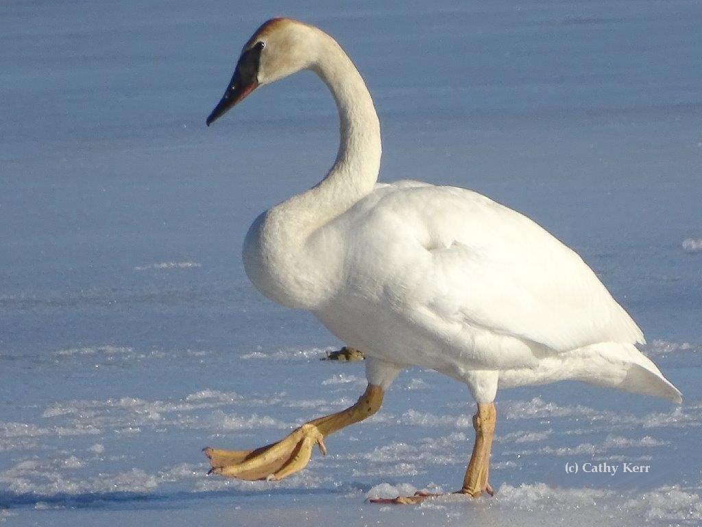 Ontario leucistic swan