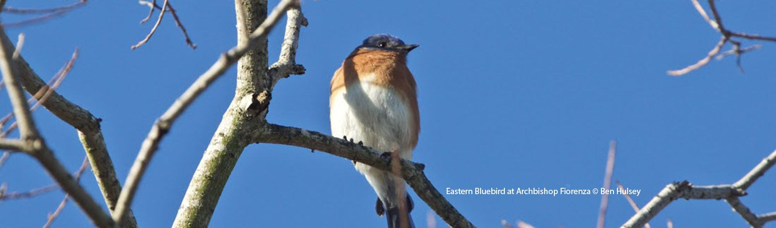 Eastern Bluebird at Archbishop Fiorenza Park by Ben Hulsey