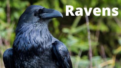 Audubon at Home: Ravens