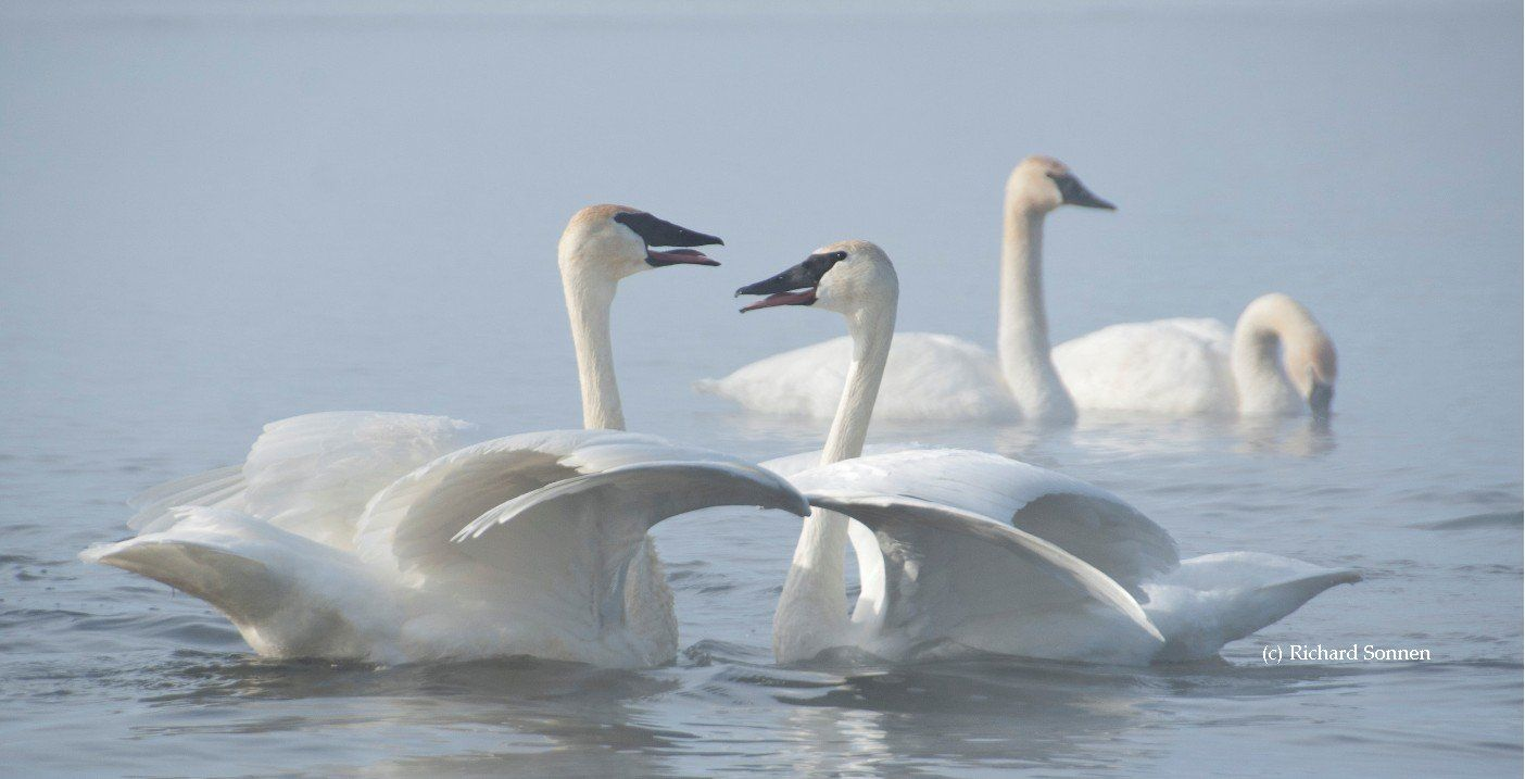 The Trumpeter Swan Society website is filled with easy to use Swan information, links, articles and lots more
