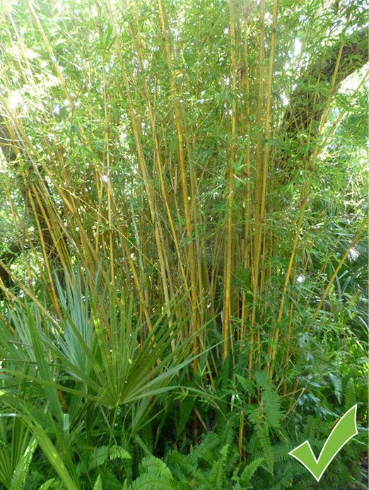 Clumping Multiplex Bamboo