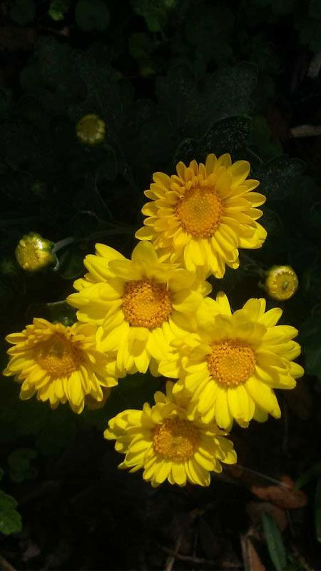 Chrysanthemum Lavandulifolium