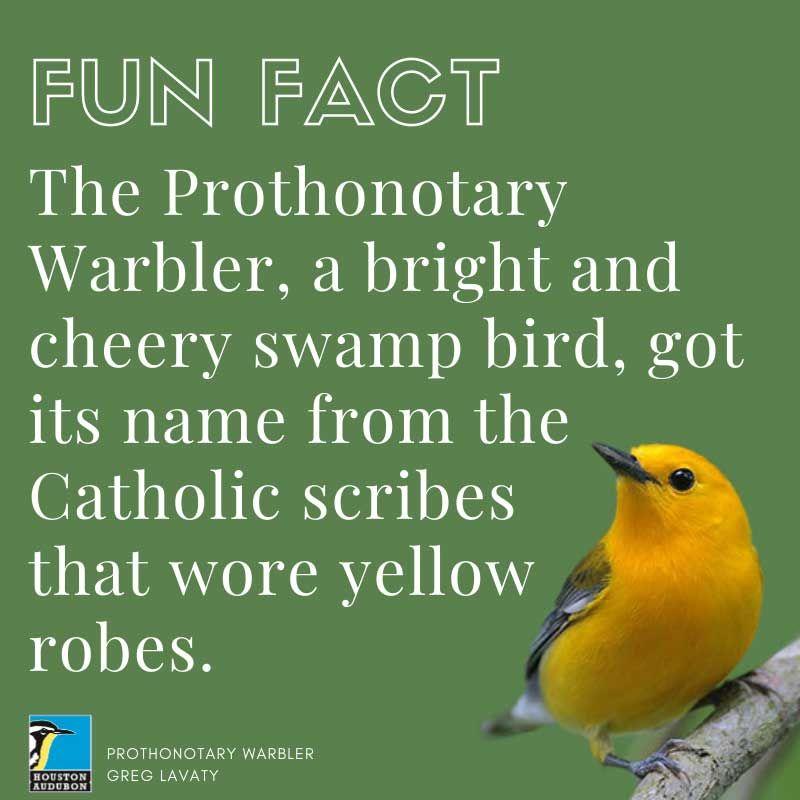 Prothonotary Warbler fun fact