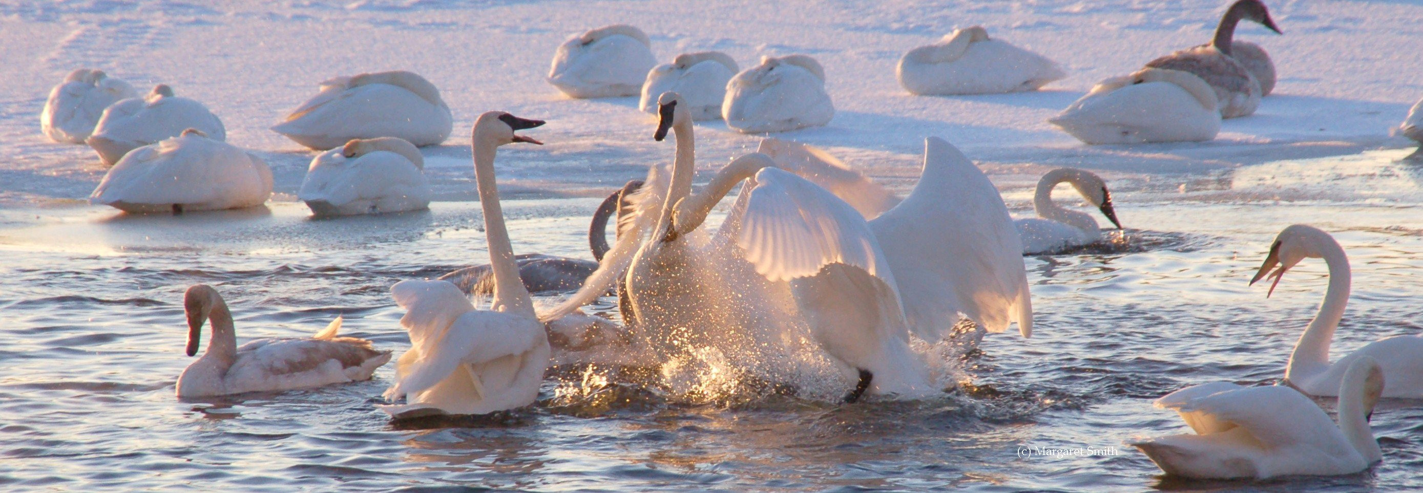 The Interior Population of swans (Midwest and Ontario) was restored entirely through restoration efforts