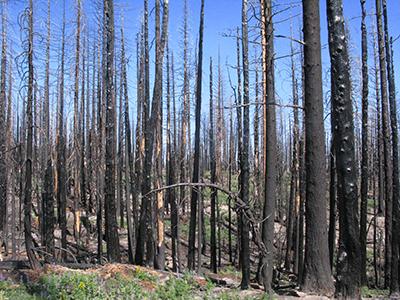 Natural forest regeneration following disturbance