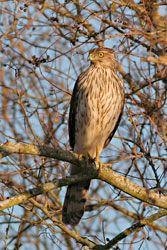 Beak of the Week: Cooper's Hawk