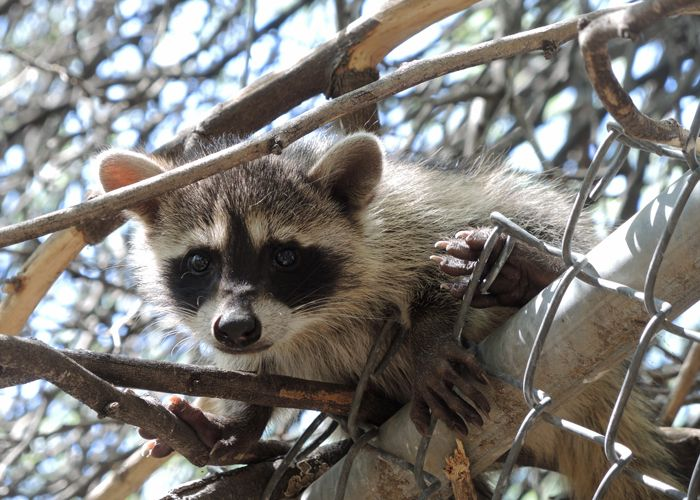 Lessons for a Young Raccoon