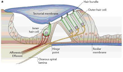 A picture of The sensory and motor roles of auditory hair cells