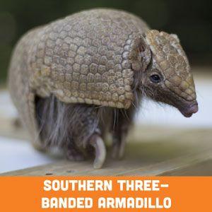 southern three banded armadillo