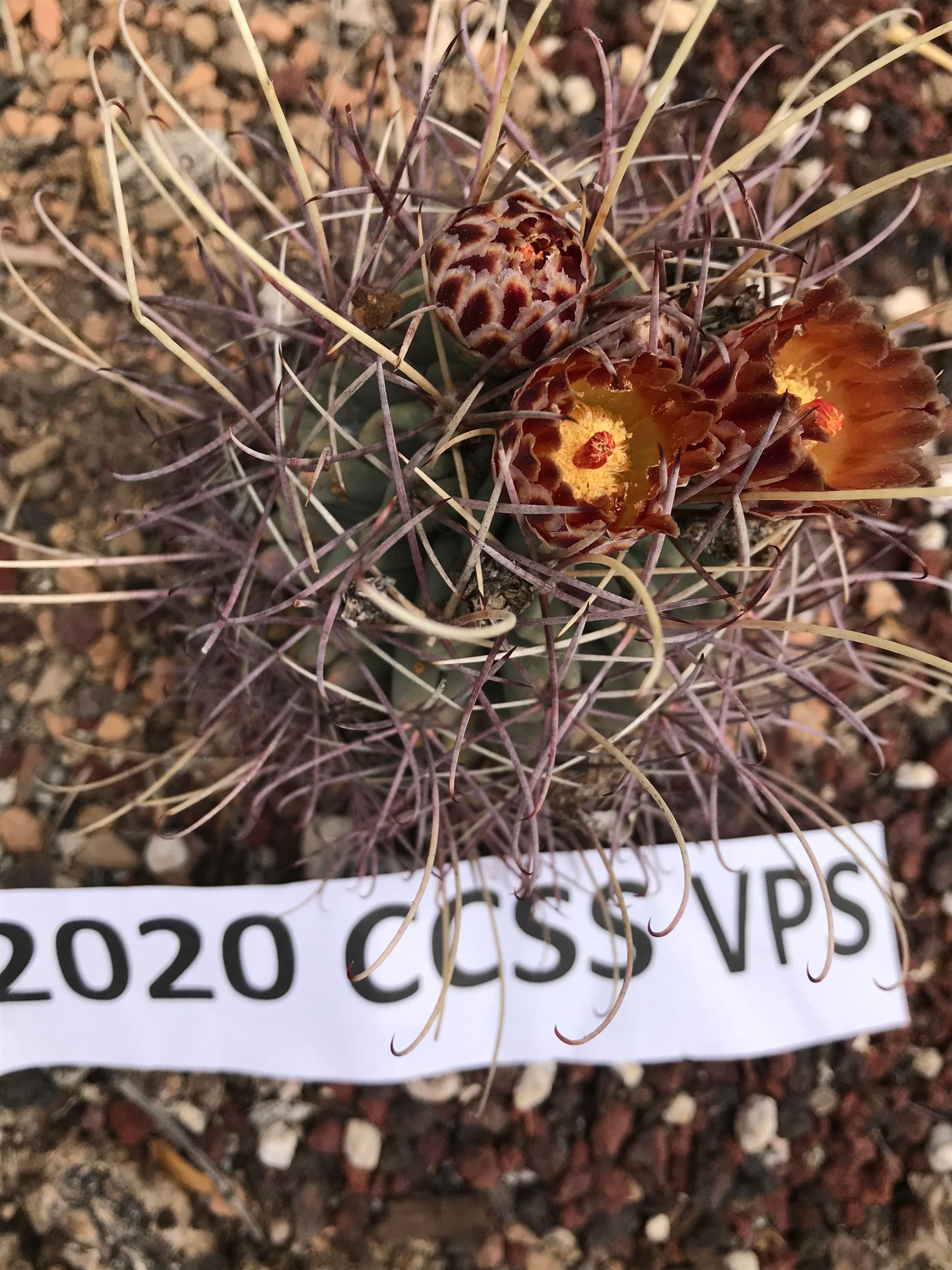 Glandulacactus uncinatus