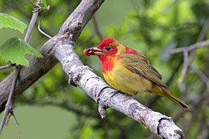 Summer Tanager (first-spring male)