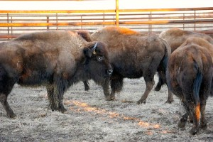 CRANE TRUST WELCOMES GENETICALLY PURE BISON HOME