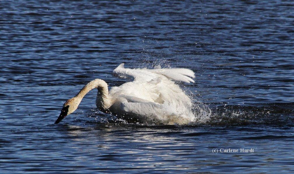 My Swan Story by Carlene H.