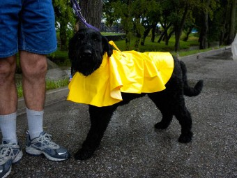 black dog in yellow rain coat