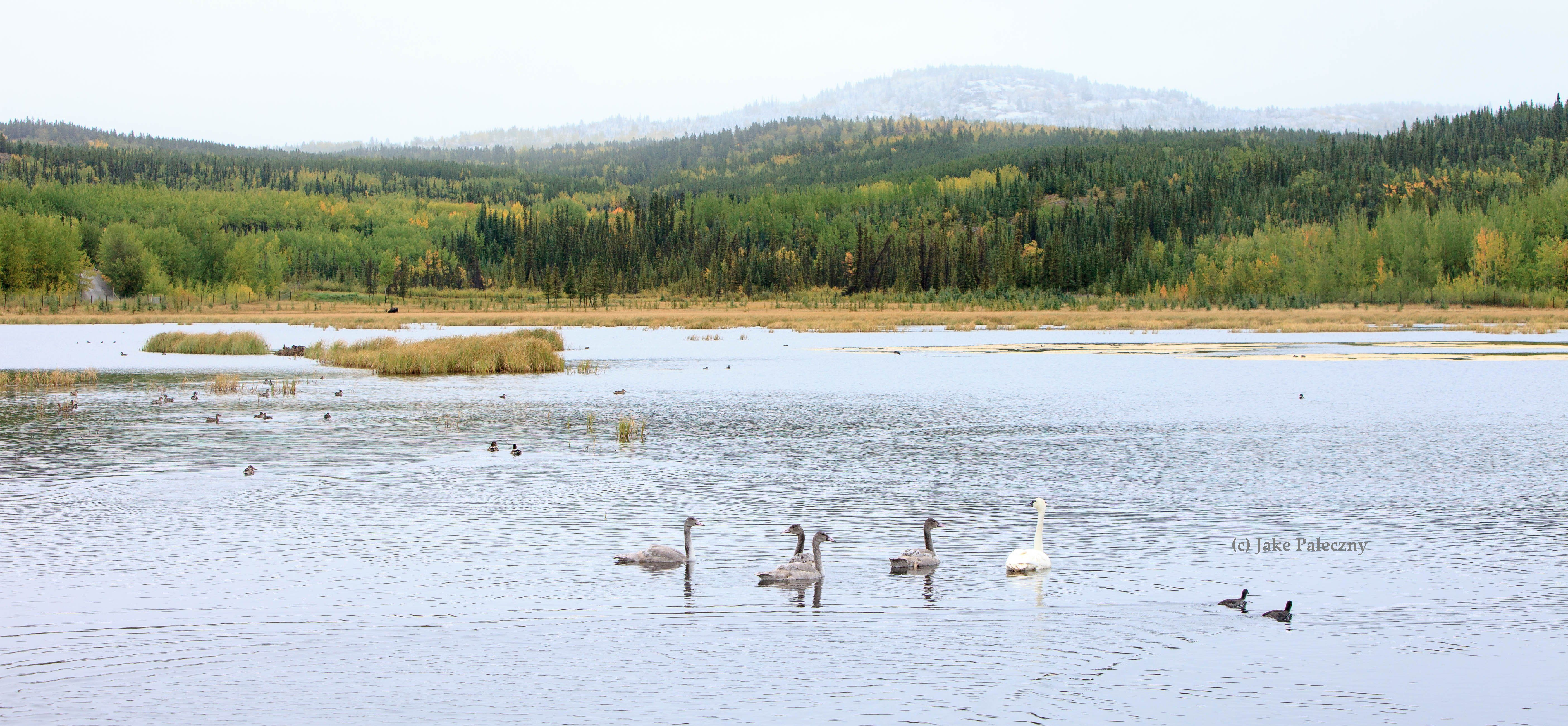 The Yukon is an important nesting area for the Pacific Coast Population