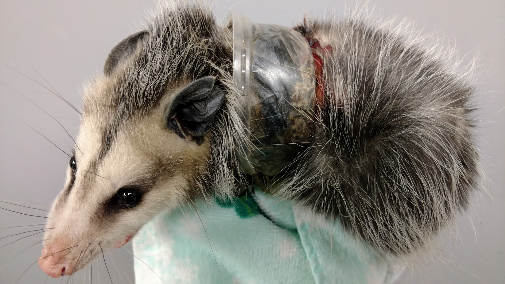 Garbage Causes Big Problems for Little Opossum