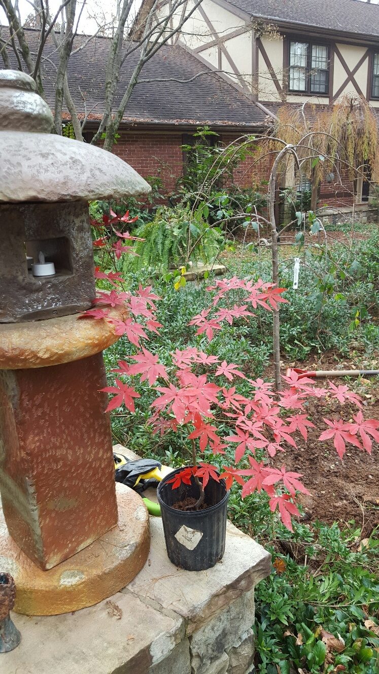 Picture of Japanese maples in the yard of Harold and Janis Kirtz