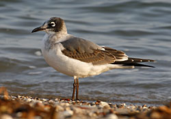 Franklin's Gull (first winter plumage)